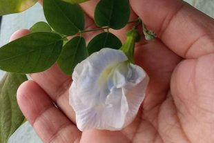 10 Blue White Clitoria Ternatea Seeds