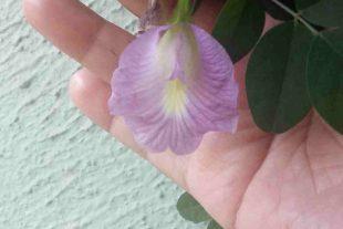10 Lavender Clitoria Ternatea Seeds