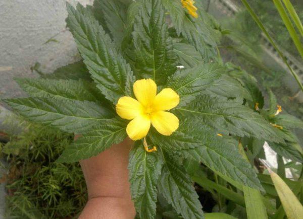 10 Organic Sage Rose Seeds