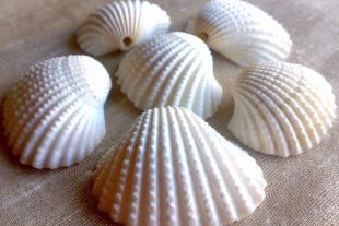 Large Natural Scallop Sea Shells