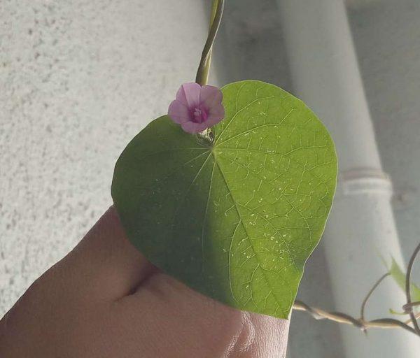 Organic Ipomoea Triloba Seeds