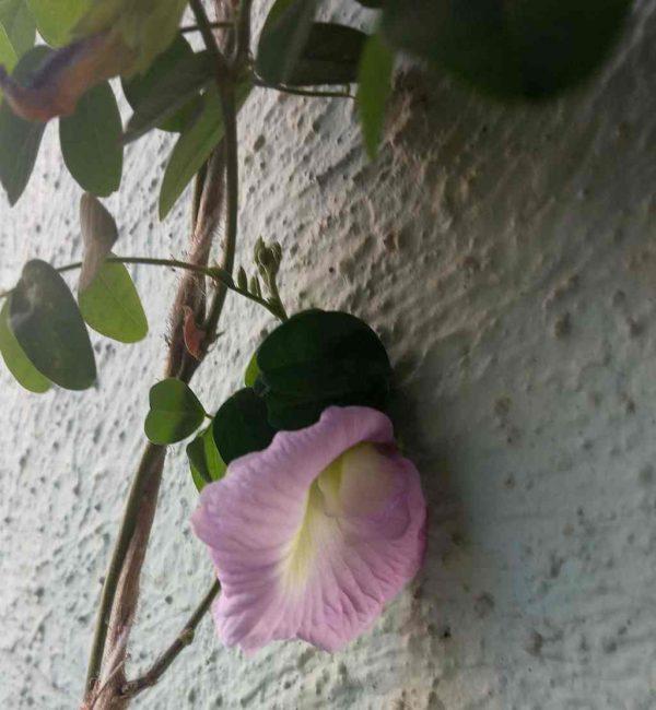 Organic Lavender Seeds